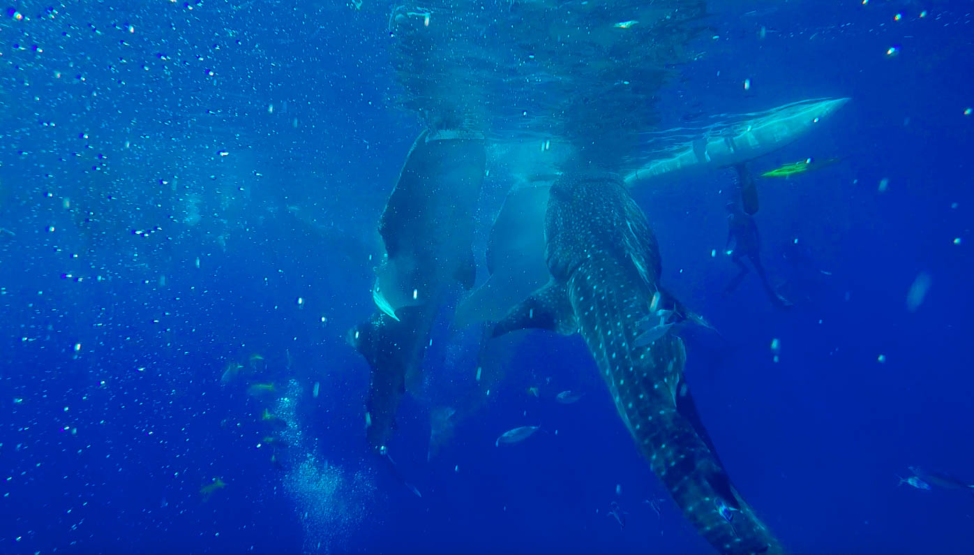 Mythical Whaleshark diving in Oslob